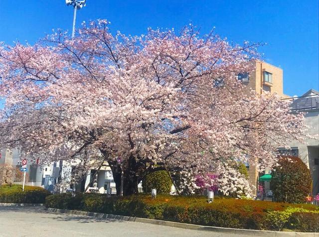 仙川ロータリー桜